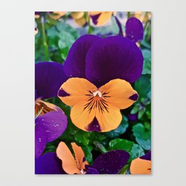 Pansy; Clear and Calm Canvas Print