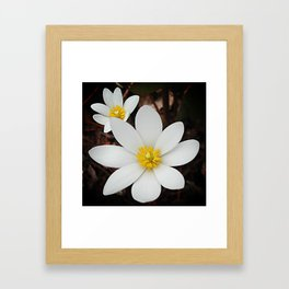 Spring woodland wildflower:  bloodroot, Sanguinaria Framed Art Print