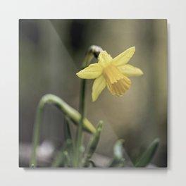 Daffodil IV Metal Print