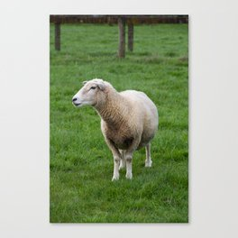 Wary North Island Sheep, in profile Canvas Print