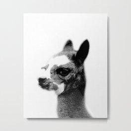 Baby alpaca Metal Print