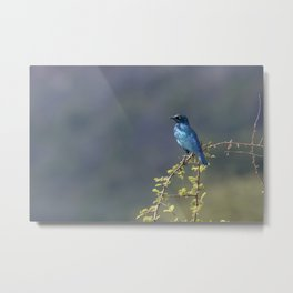 Cape Glossy Starling Metal Print