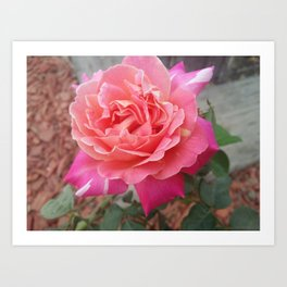 Pink Rose Outdoor photograph Art Print
