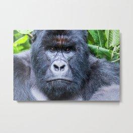 Silverback Gorilla in Congo:: Wildlife Photography Metal Print