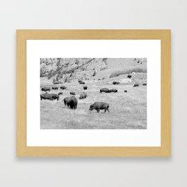 Bison Herd Framed Art Print