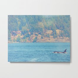 Killer Whales San Juan Islands Metal Print