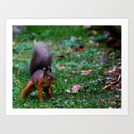 Cumbrian Red Squirrel Art Print