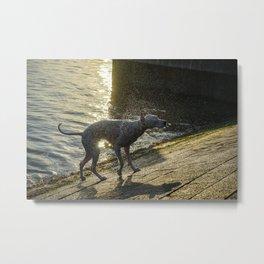 Wet dog, shaking the water of him Metal Print