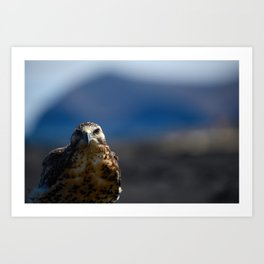 Galapagos Hawk, top predator of the islands Art Print
