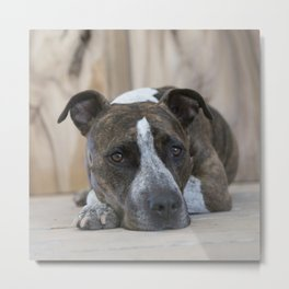 Pittbull Love Metal Print