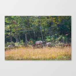 Great Smoky Mountains - Elk Canvas Print