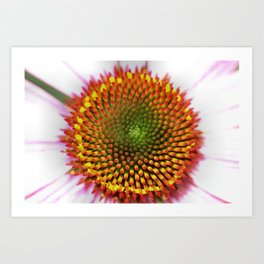 Purple Coneflower - Echinacea purpurea cv. Magnus Art Print