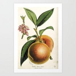 A peach plant - vintage illustration Art Print
