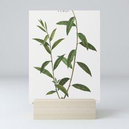 Golden willow, Salix vitellina from Traité des Arbres et Arbustes que l'on cultive en France en plei Mini Art Print