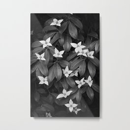 Chinese Evergreen Dogwood Metal Print