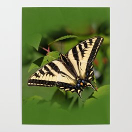 Western Tiger Swallowtail in the Garden Poster