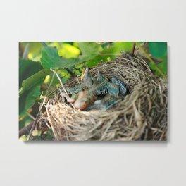 Azores blackbird nest Metal Print