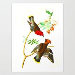 Bohemian Chatterer Bird Art Print