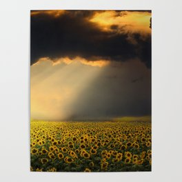 Sunflowers and Sunflower fields at Sunrise Photographic Landscape Poster