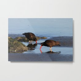 Oystercatchers Metal Print