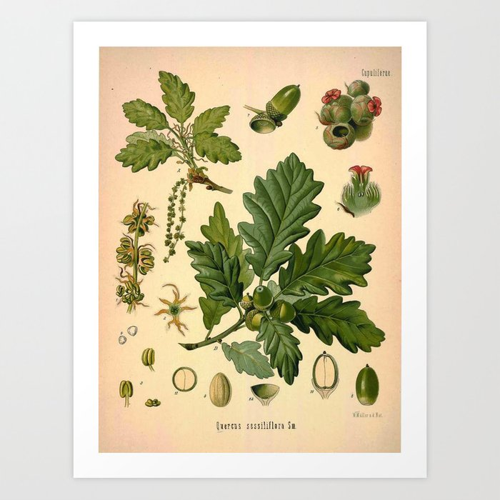 Botanical Print: Oak Tree / Acorn Art Print by karen_johnson | Society6