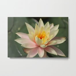 Yellow Water Lily Metal Print