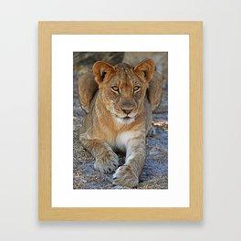 Young lion - Africa wildlife Framed Art Print