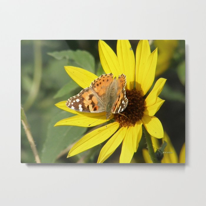 Painted Lady Butterfly Picks Pollen Metal Print