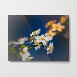Beautiful White Jasmine Flowers With Green Leaves Against A Blue Background Metal Print