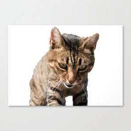 Tabby Looking Down Background Removed Canvas Print