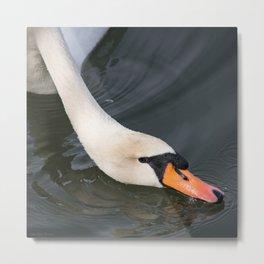 Mute Swan in Winter - Neck Skimming Metal Print