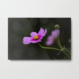 pink Cosmea summer flower Metal Print