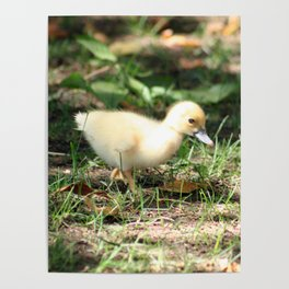 Baby Duckling strolling on a lawn Poster