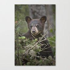 Black Bear Cub peeking over Pine Branches Canvas Print