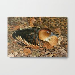 Fulvous Whistling Duck Metal Print