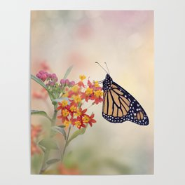 Monarch Butterfly  feeding on Tropical milkweed Poster