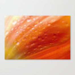 Drops of water on tulip Canvas Print