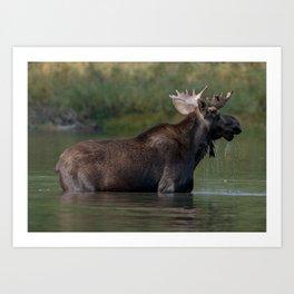 Moose On The Lake Art Print
