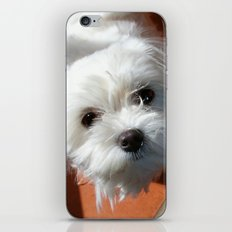 Cute Maltese asking for a treat iPhone & iPod Skin