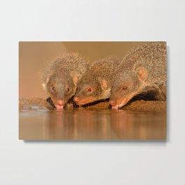 Thirsty mongoose Metal Print
