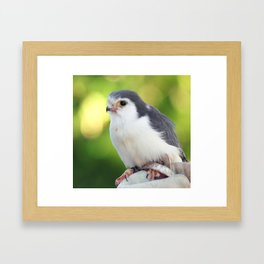 Pygmy Falcon Framed Art Print