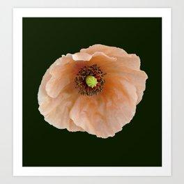 Papaver atlanticum (Peach Colored Poppy) Art Print