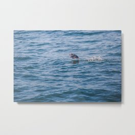 Cute Puffin takes off from the water Metal Print