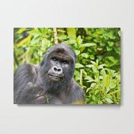 Mountain Gorilla, Uganda Metal Print