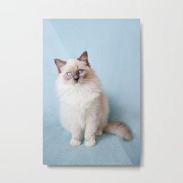 Blue eyed Ragdoll kitty sitting Metal Print