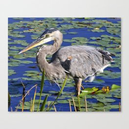 Great blue heron searching for breakfast Canvas Print