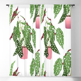 Simple Potted Polka Dot Begonia Plants in White Blackout Curtain