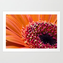 Orange Germini. Art Print
