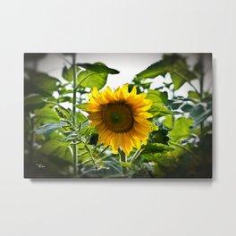 Sunflower Vignette Edges Metal Print