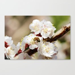 Bee Visiting an Apricot Blossom 1 Canvas Print